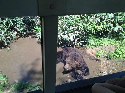水浴びしている熊