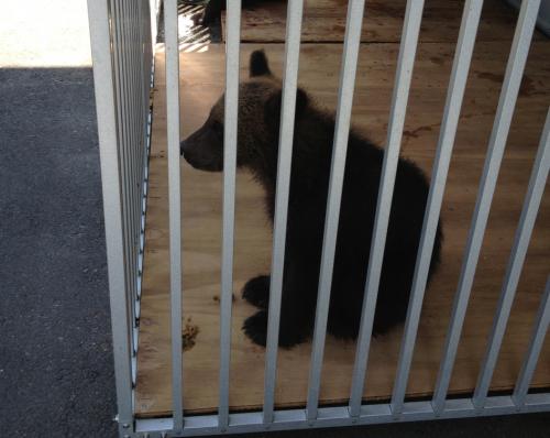 檻に入った小熊