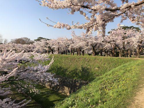 五稜郭公園の桜2