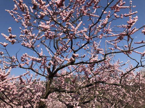 平岡公園の梅の木