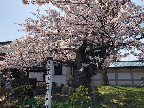 松前公園の桜の標準木