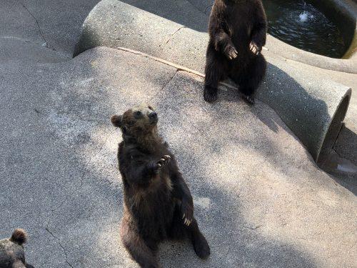手招きする熊