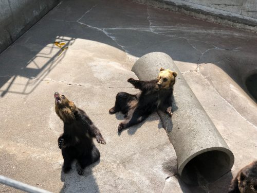 投げた餌を口でキャッチする熊