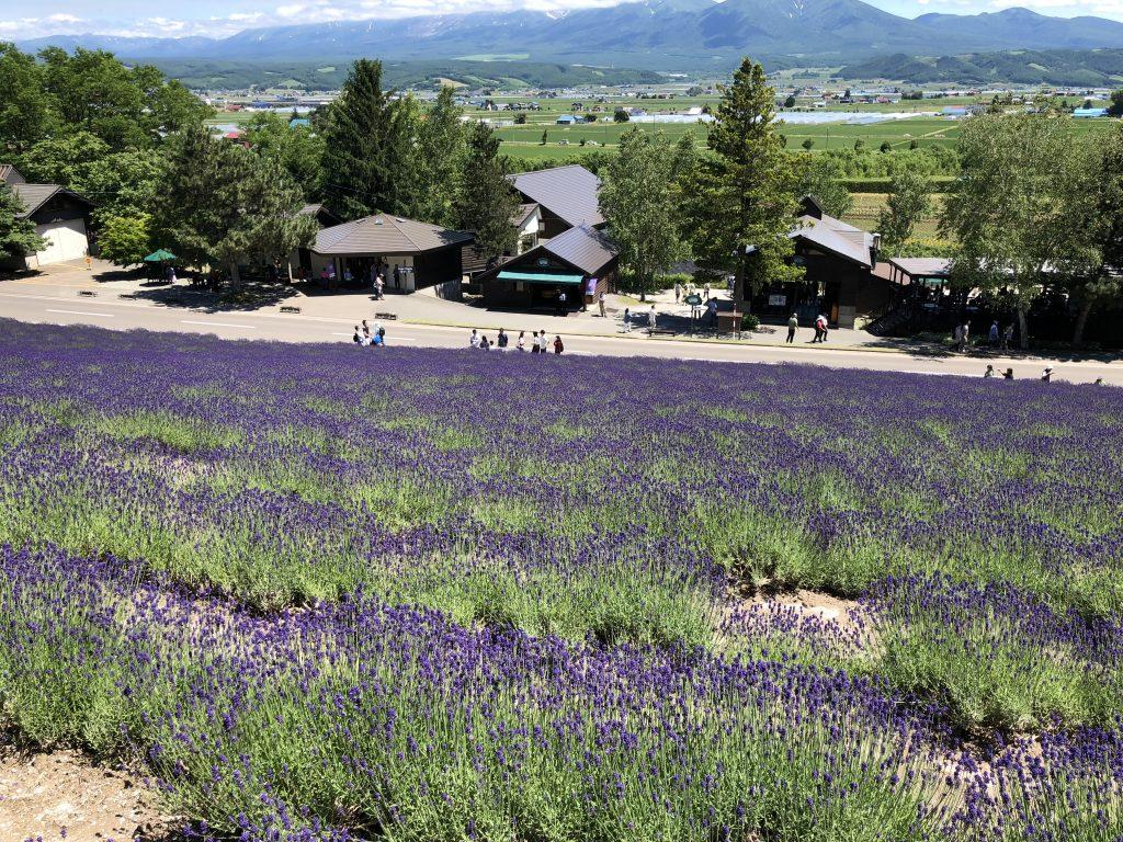 綺麗に咲いてるファーム富田のラベンダー畑